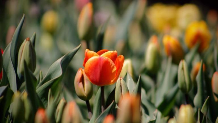 Oranssit tulppaanit